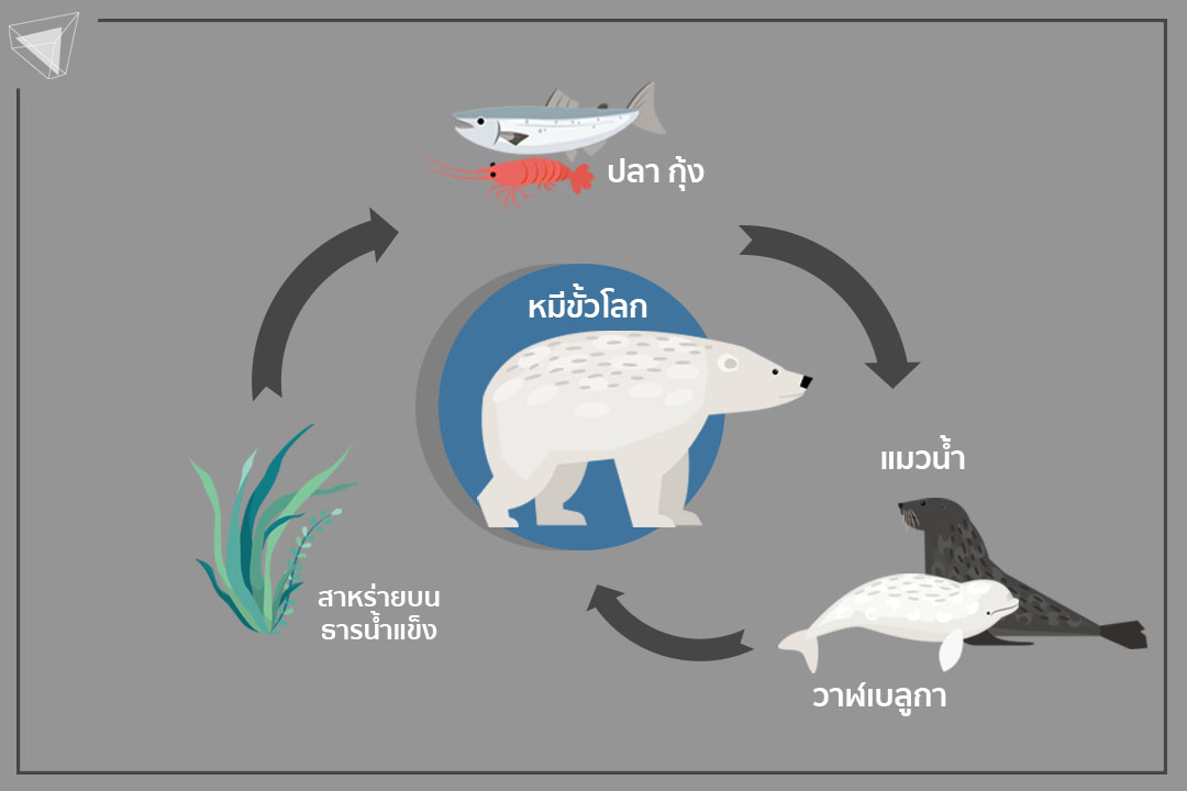 หมีขั้วโลก ภาวะโลกร้อนส่งผลต่อห่วงโซ่อาหาร