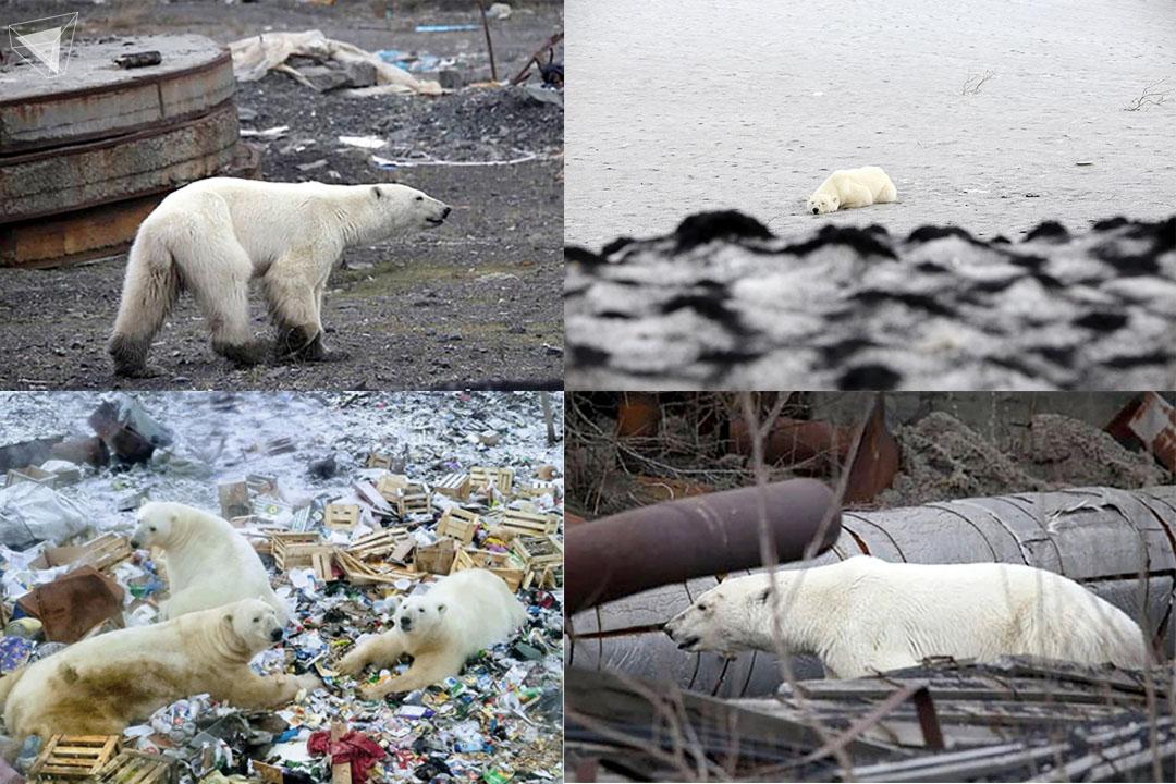 บ้านของหมีขั้วโลกถูกทำลาย