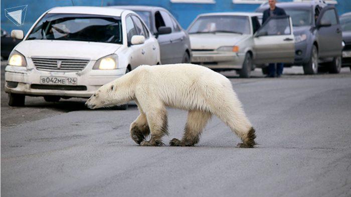 หมีขั้วโลก ภาวะโลกร้อน
