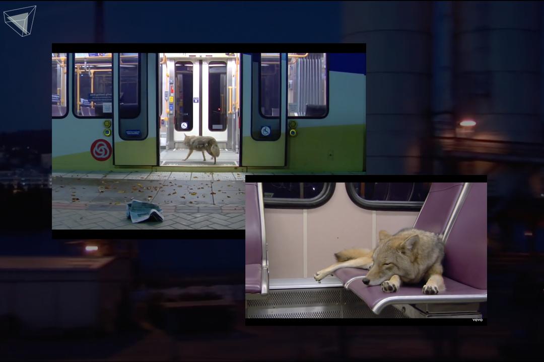 Modest Mouse – Coyotes Music Video ที่มีสัตว์เป็นตัวดำเนินเรื่อง